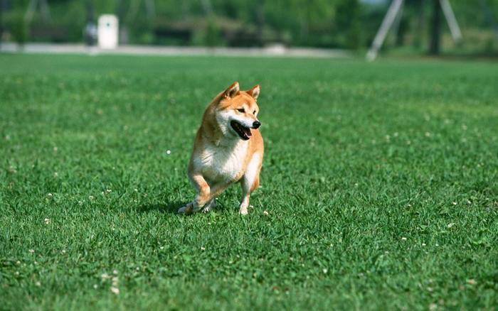 钻石地毯--人造草坪宠物的绿色家园